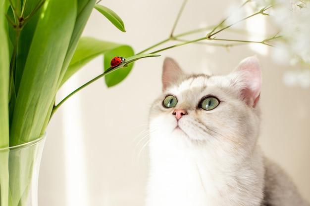Chat blanc britannique assis à côté d'un bouquet de fleurs à la recherche d'une coccinelle rouge rampant
