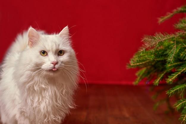 Chat blanc drôle d'animal familier sorti sa langue sur le fond rouge de noël, arbre de noël de branches de sapin