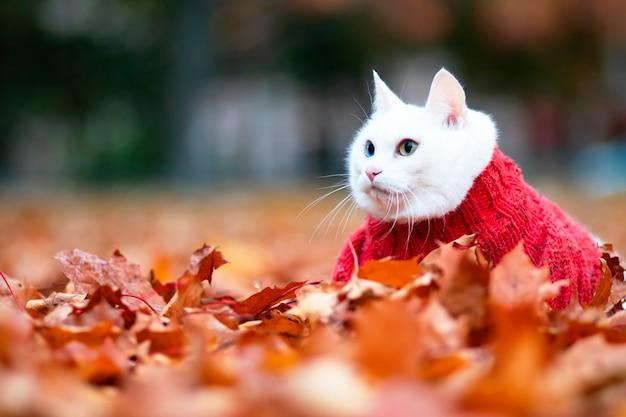Chat blanc drôle, yeux multicolores. race angora. se trouve dans le feuillage du parc un jour d'automne. animal dans un pull dans la rue. l'animal joue dans l'érable rouge et jaune.