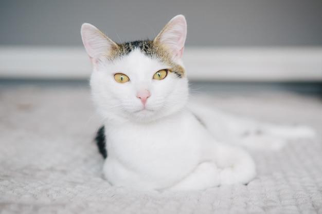 Chat blanc sur fond gris se trouve sur un canapé