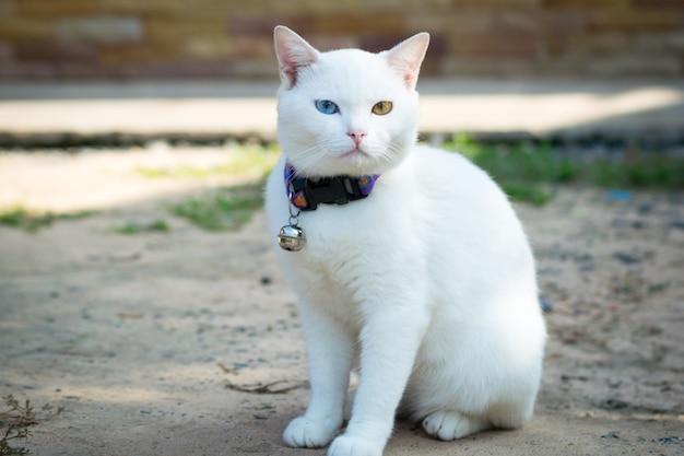 Chat blanc kaowmanee debout