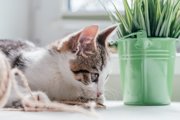 Un chat blanc à rayures grises de 3 à 4 mois joue avec une corde de jute à côté d'une balle et d'une plante d'intérieur. chaton non-race ludique