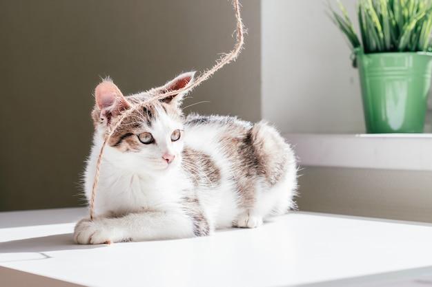 Un chat blanc à rayures grises de 3 à 4 mois joue avec de la corde de jute, à côté de la fenêtre et de la plante d'intérieur. chaton non-race ludique