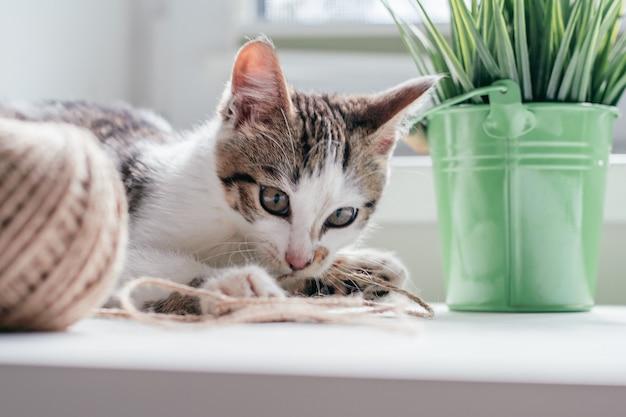 Un chat blanc à rayures grises de 3 à 4 mois joue avec un écheveau de corde de jute à côté d'une balle et d'une plante d'intérieur. chaton non-race ludique