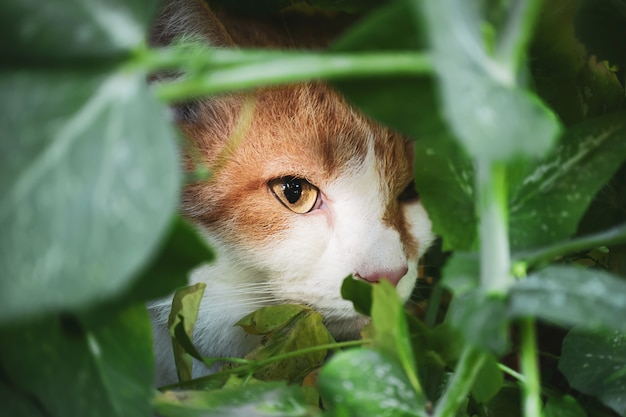 Chat blanc-rouge est assis dans les buissons, gros plan du museau aux yeux verts. le concept d'un chasseur à domicile, un prédateur mignon, des animaux de compagnie.