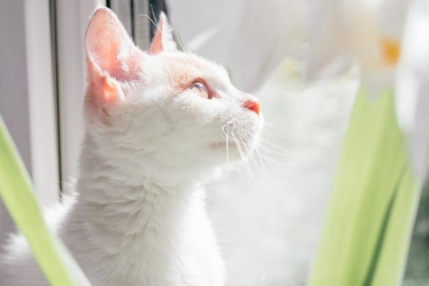 Chat blanc et roux de 3 à 4 mois regarde par la fenêtre. chaton dans les rayons du soleil, à côté de la plante d'intérieur