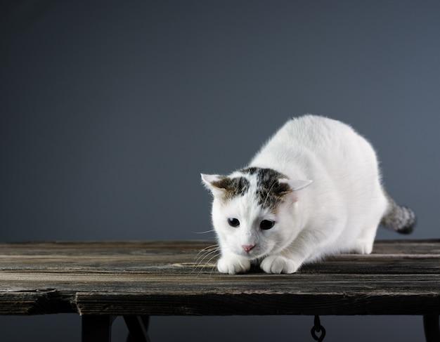 Chat blanc se prépare à sauter sur un fond gris