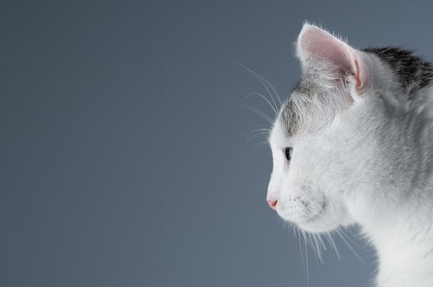 Chat blanc se prépare à sauter