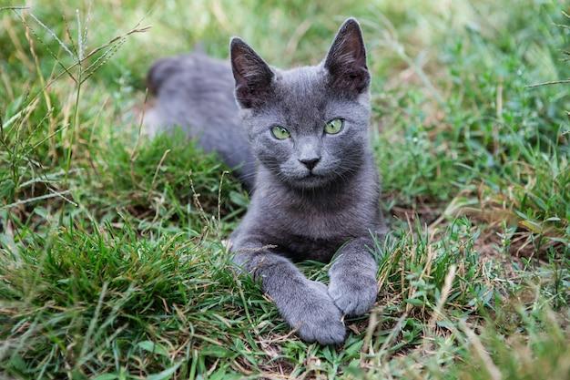 Chat bleu russe. un petit chaton pedigree aux yeux verts gris est assis sur l'herbe verte