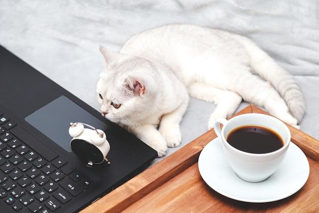 Chat britannique blanc avec ordinateur portable, tasse de café et réveil. concept d'apprentissage en ligne, travail à domicile, auto-isolement. humour.