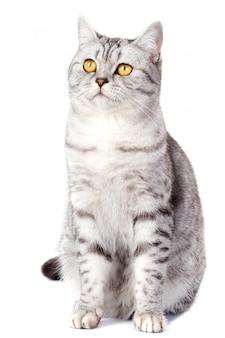 Chat britannique sur blanc