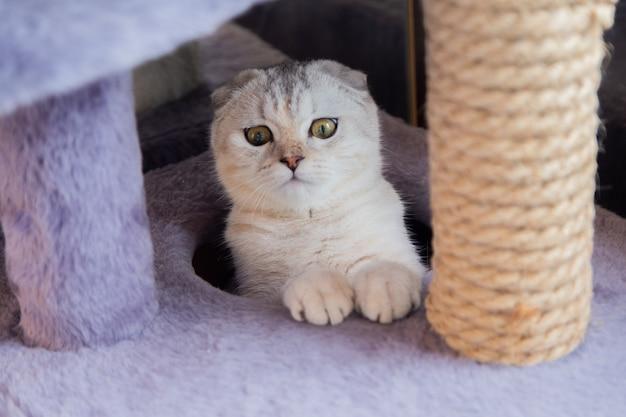 Un chat britannique clair avec des rayures brunes est assis dans une maison de chat et regarde la caméra