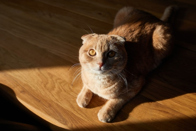Chat britannique est allongé sur une table en bois au soleil à la maison. espace pour le texte, lumière dure. la vie des animaux domestiques.