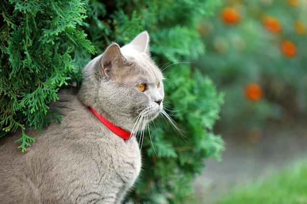 Chat britannique sur fond d'herbe