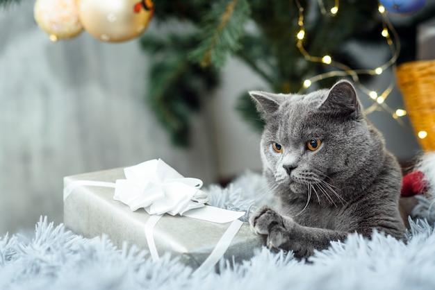 Chat britannique gris avec des cadeaux de noël sur le thème des vacances