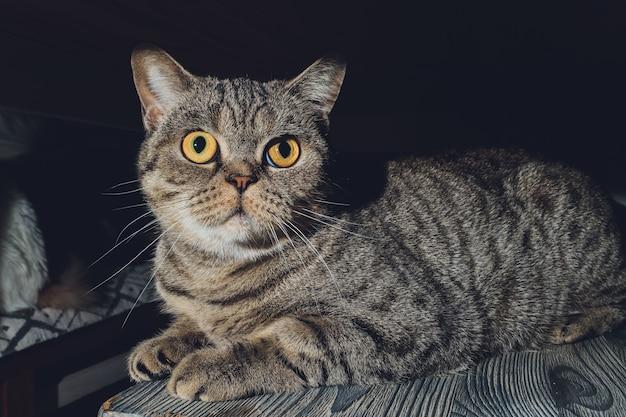Chat britannique à la maison assis sous le placard.