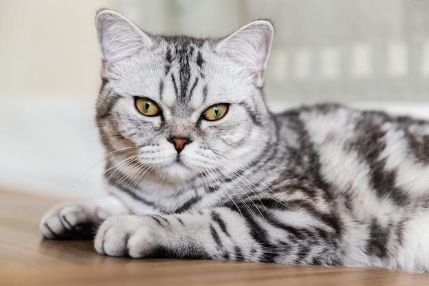 Chat britannique à poil court, allongé et regardant la caméra. portrait de chat tigré gris. espace de copie