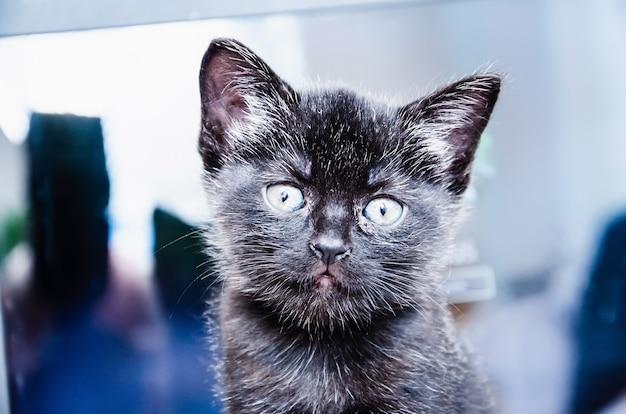 Un chat britannique travaille derrière un ordinateur portable au lit jusque tard dans la nuit, fond d'écran, nuit-nuit, travail à la maison, vie de chat, chat british shorthair