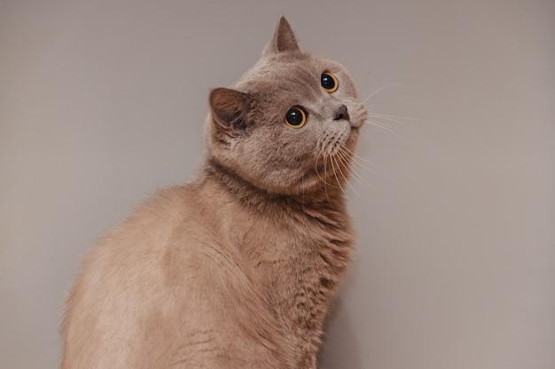 Chat britannique violet. portrait d'un animal.