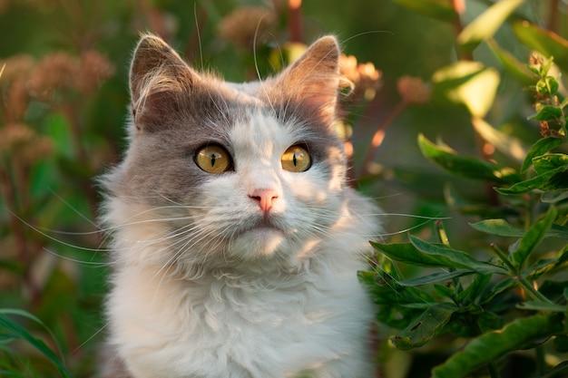 Chat british longhair s'amusant en plein air. chat mignon avec de longues moustaches. chat gris et blanc étonnement couché.