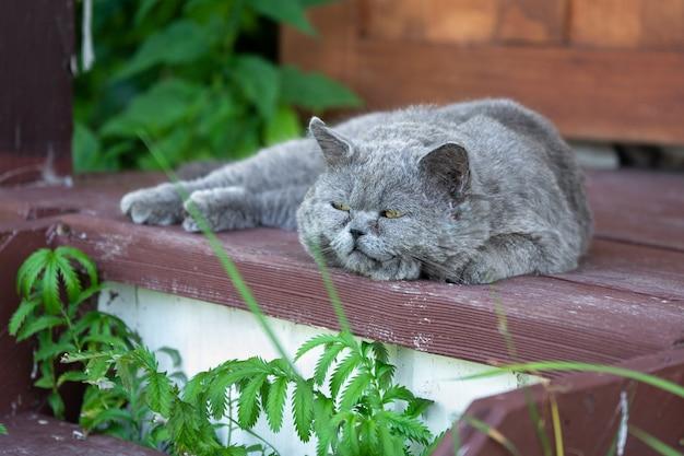 Chat british shorthair allongé sur le porche en bois
