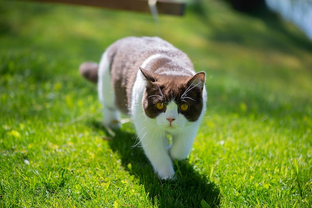 Chat british shorthair dans un jardin d'été