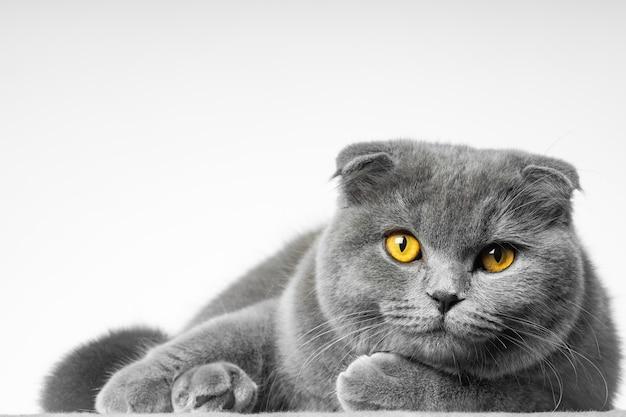 Chat british shorthair gris avec de beaux yeux sur fond blanc