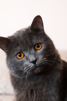 Chat british shorthair