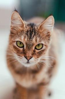 Chat brun adulte sérieux aux yeux verts regardant la caméra. aider le chat errant