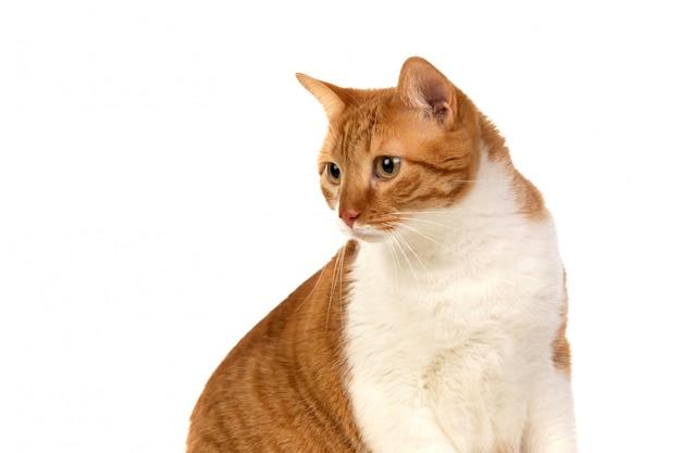 Chat brun et blanc adulte
