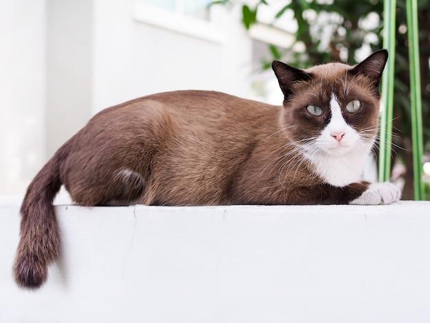 Chat brun dormant et regarder sur le mur blanc de la maladie, chat malade de la maladie.