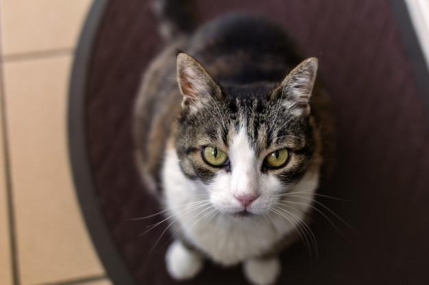 Un chat brun foncé et blanc regardant la caméra
