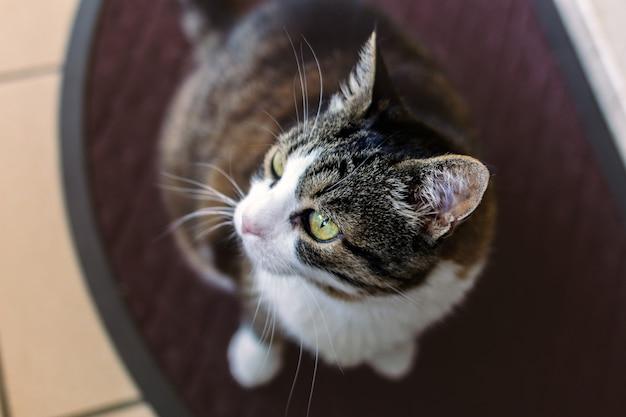 Un chat brun foncé et blanc regardant dans l'espace