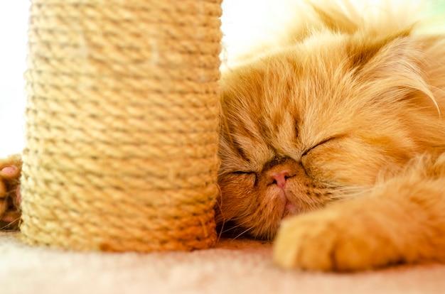 Chat brun persan à motifs de fond