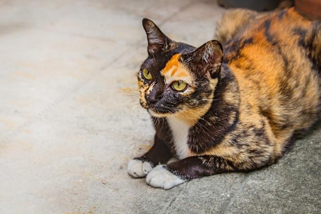 Chat calico assis sur un sol en ciment, chat mikeneko.
