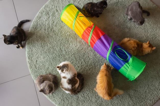 Chat calico encadré et alerte dans un jouet tunnel pour chat.