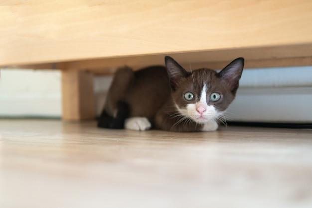 Un chat chaton au chocolat se cache sous une table en bois pour regarder quelque chose