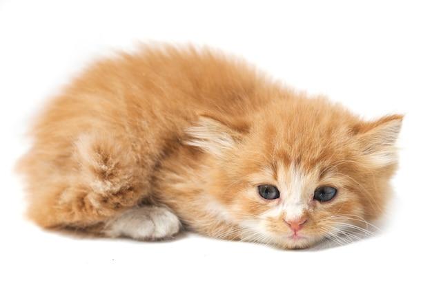 Chat chaton orange domestique mixte isolé