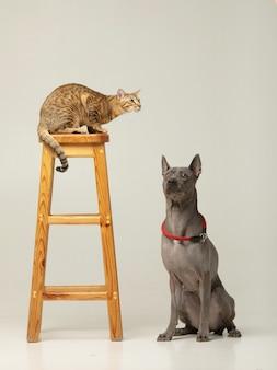 Chat et chien mignons sur le mur blanc amis moelleux thai ridgeback et chat serengeti