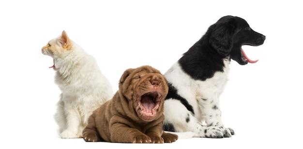 Chat et chiens bâillent
