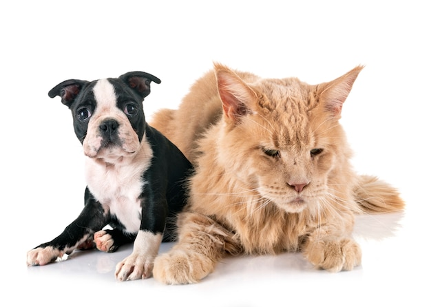 Chat cochon et petit chien