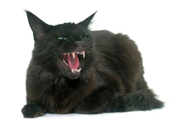 Chat en colère maine coon