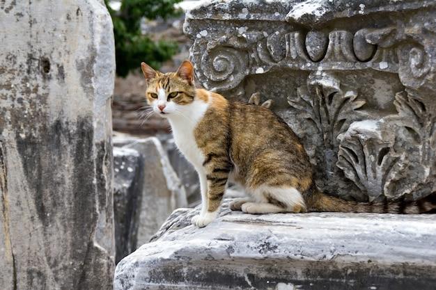 Un chat sur la colonade de la ville antique d'ephèse turquie