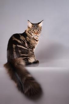 Chat coon maine en colère assis sur fond gris