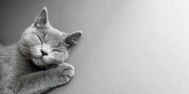 Chat couché sur fond gris,