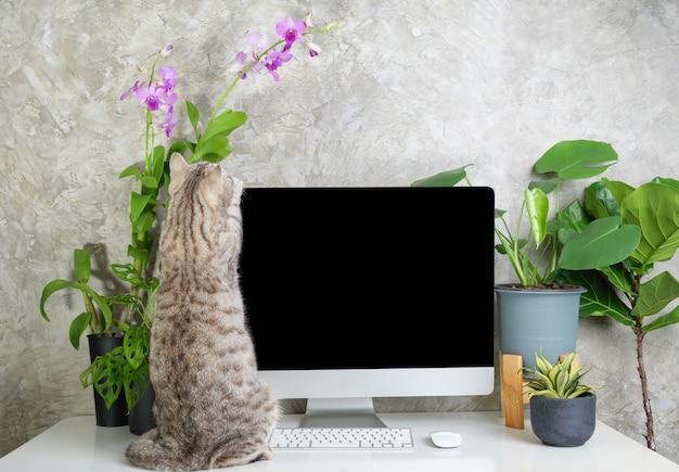 Chat curieux sur la table de travail avec des fleurs d'orchidées d'ordinateur et des plantes vertes de monstera sur un bureau blanc, concept de travail à domicile