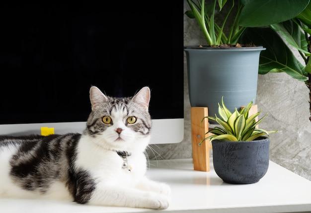 Chat curieux sur la table de travail avec ordinateur et plante de serre monstera sur un bureau blanc, concept de travail à domicile
