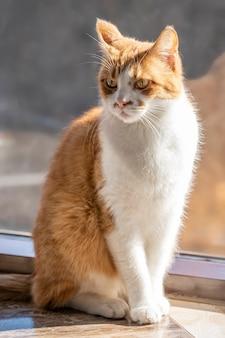 Un chat domestique aux cheveux roux est assis au soleil.