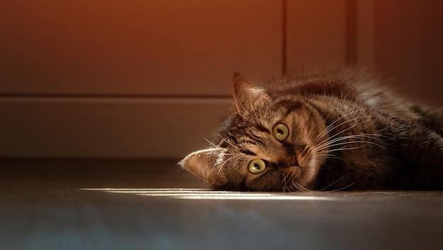 Un chat domestique brun gît sur le sol de la maison sous le soleil.