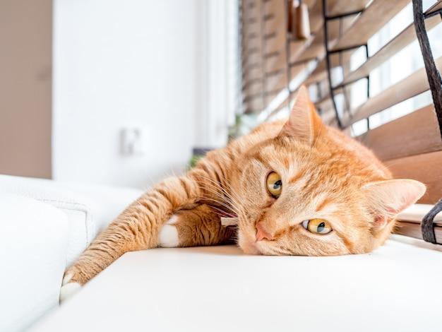 Un chat domestique détendu près de la fenêtre.